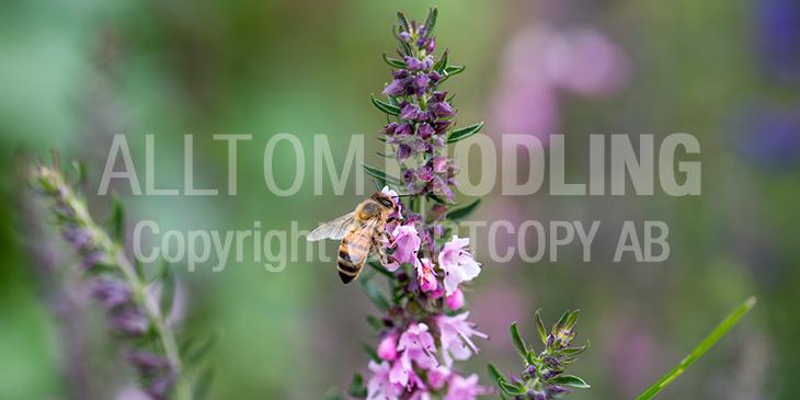 Biväxter - Isop (Hyssopus officinalis)