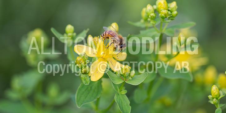 Biväxter - johannesört (Hypericum spp.)