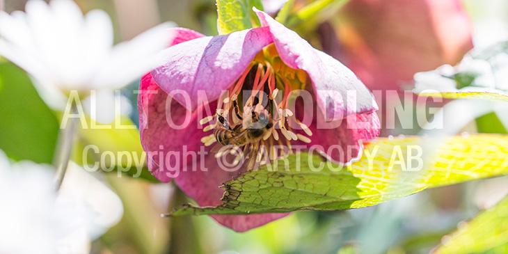Biväxter - Julros (Helleborus)