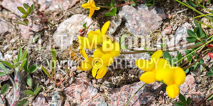 Biväxter - Käringtand (Lotus corniculatus L.)