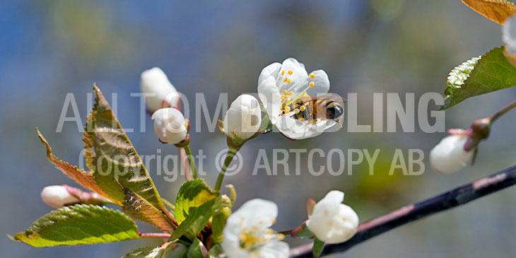 Biväxter - Körsbär (Prunus)