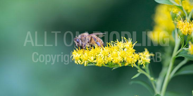 Biväxter Kanadensiskt gullris (Solidago canadensis)