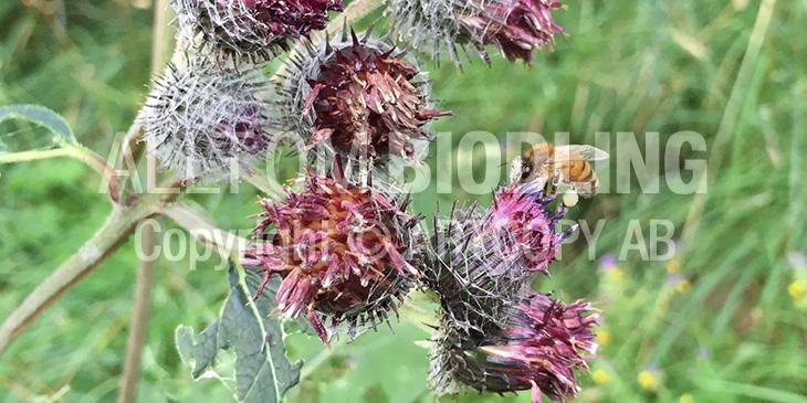 Biväxter - Kardborrar (Arctium spp.)