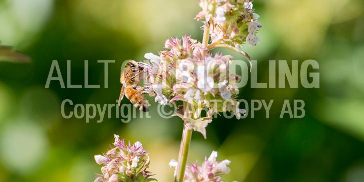 Biväxter - Kattmynta (Nepeta cataria)