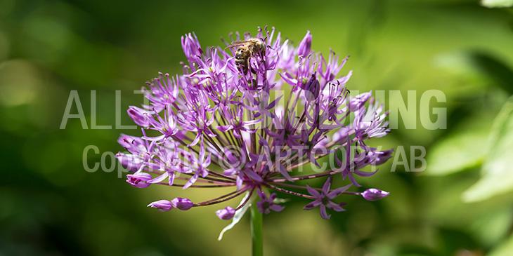 Biväxter - Kirgislök (Allium aflatunense)
