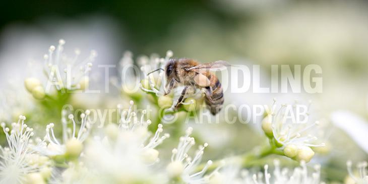 Biväxter - Klätterhortensia (Hydrangea anomala)