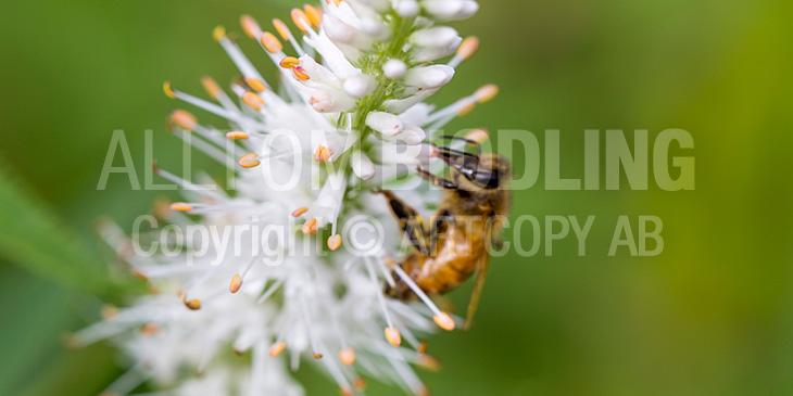 Biväxter - Kransveronika (Veronicastrum virginicum)