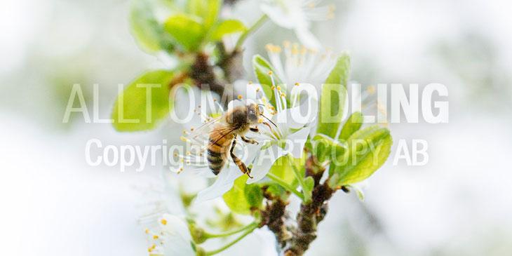 Biväxter - Krikon (Prunus insititia)