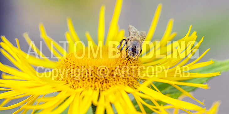 Biväxter - Krissla (Inula salicina)
