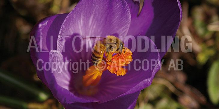 Biväxter - Krokus (Crocus spp.)
