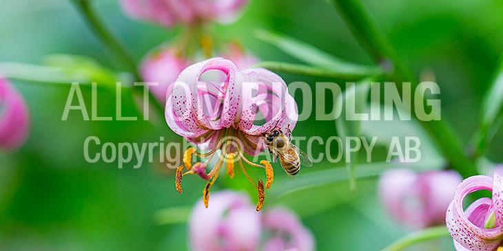 Biväxter - Krollilja (Lilium martagon)