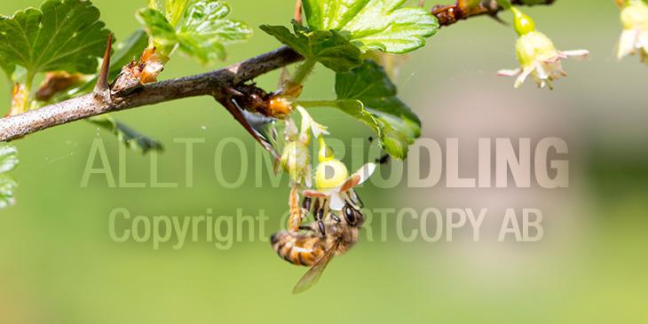 Biväxter - Krusbär (Ribes uva-crispa)