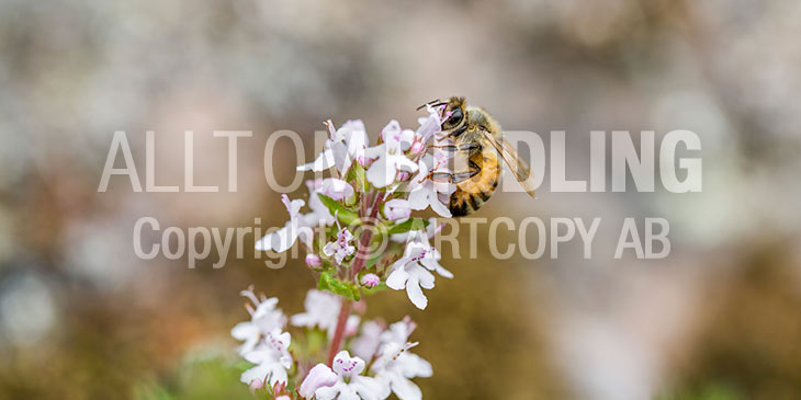 Biväxter - Kryddtimjan (Thymus vulgaris)