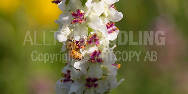Biväxter - Kungsljus (Verbascum spp.)