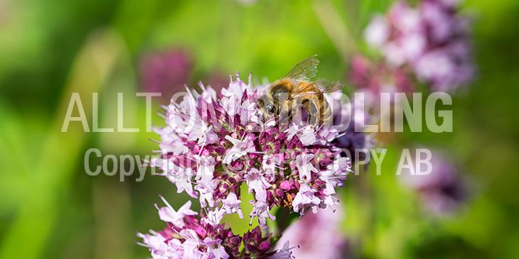 Biväxter - Kungsmynta (Origanum vulgare)