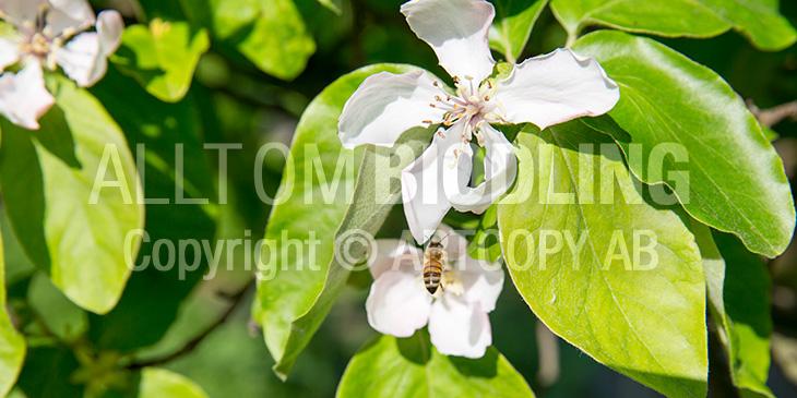 Biväxter - Kvitten (Cydonia oblonga)