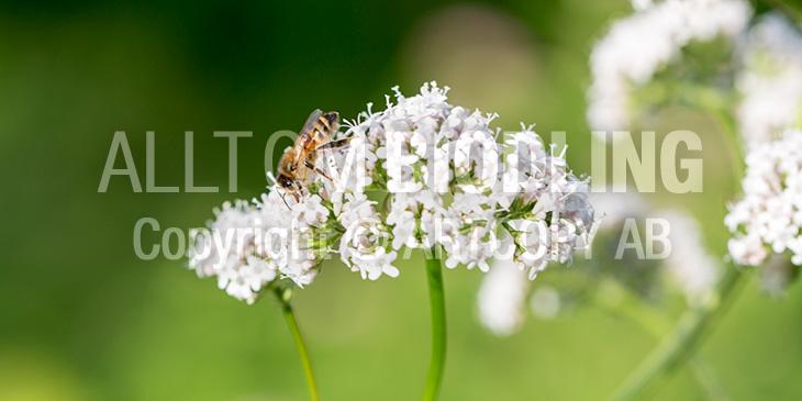 Biväxter - Läkevänderot(Valeriana officinalis)