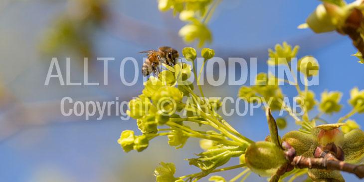 Biväxter - Lönn (Acer platanoides)