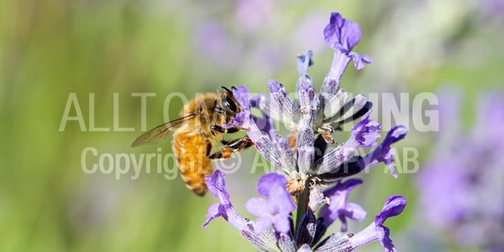 Biväxter - Lavendel (Lavandula angustifolia)