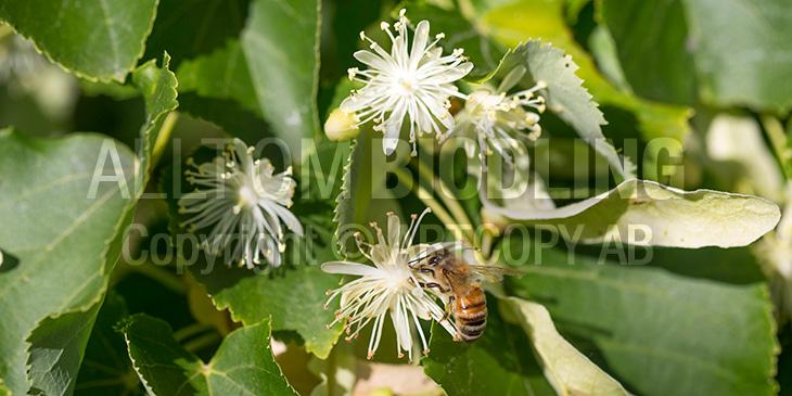 Biväxter - Lind (Tilia cordata)