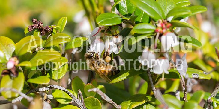 Biväxter - Lingon (Vaccinium vitis-idaea)