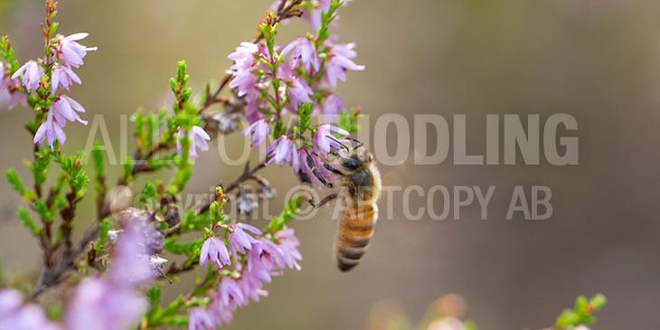 Biväxter - Ljung (Calluna vulgaris)