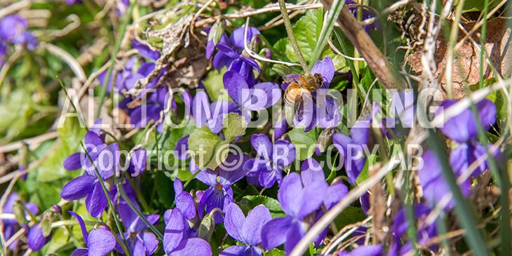 Biväxter - Luktviol (Viola odorata)