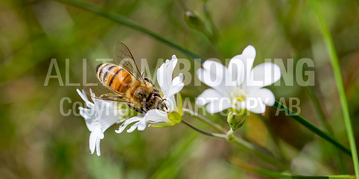 Biväxter - Mandelblomma (Saxifraga granulata)