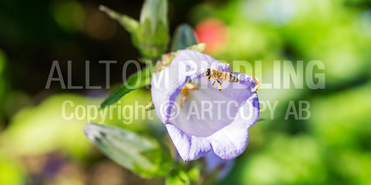 Biväxter - Mariaklocka (Campanula medium)