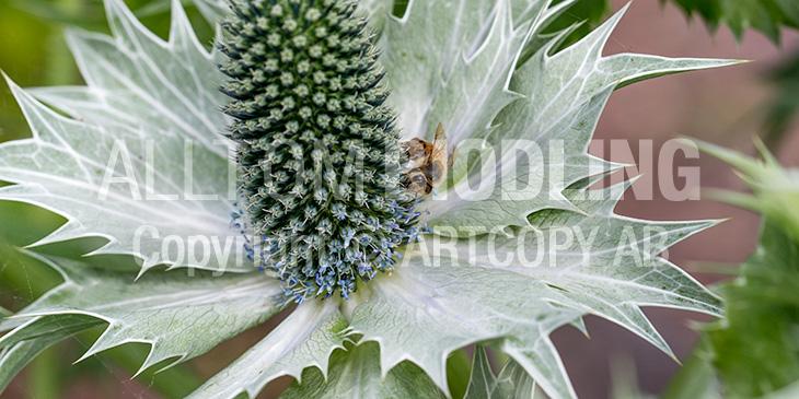 Biväxter - Martornar (Eryngium spp.)