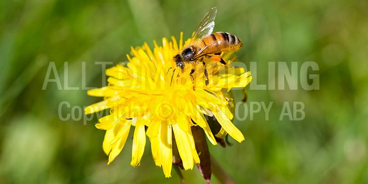 Biväxter - Maskrossläktet (Taraxacum spp.)
