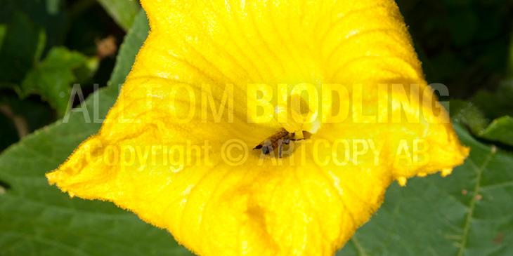 Biväxter - Melon (Cucumis melo)