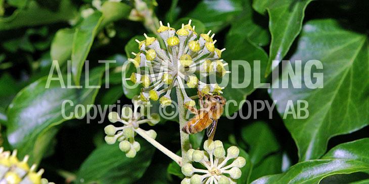 Biväxter - Murgröna (Hedera helix)