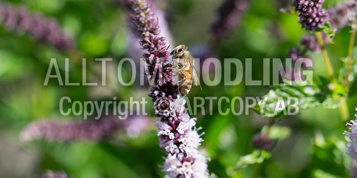 Biväxter - Myntor / Myntasläktet (Mentha spp.)