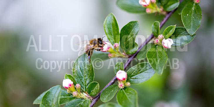 Biväxter - Oxbärssläktet (Cotoneaster)