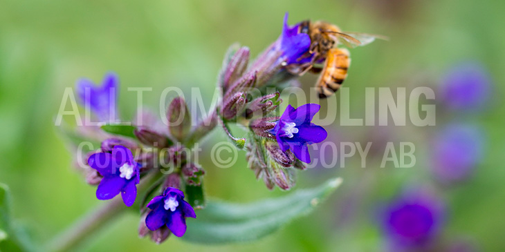 Biväxter - Oxtunga (Anchusa officinalis)