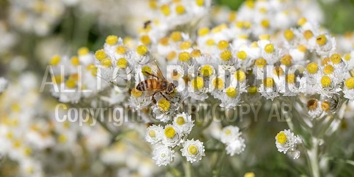 Biväxter - Pärleternell (Anaphalis margaritacea)