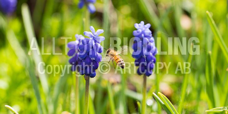 Biväxter - Pärlhyacint (Muscari botryoides)