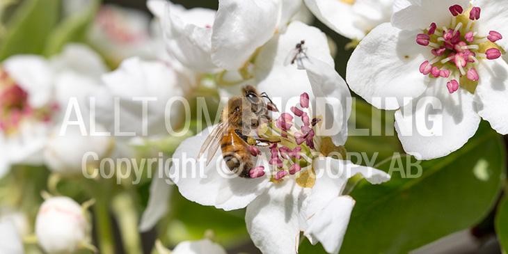 Biväxter - Päron (Pyrus communis)