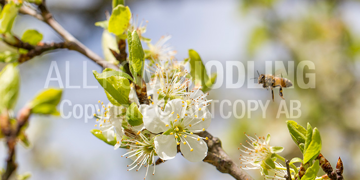 Biväxter - Plommon (Prunus domestica)