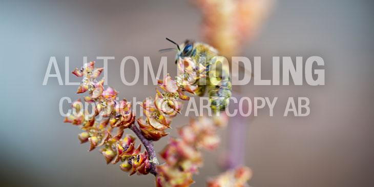 Biväxter - Pors (Myrica gale)
