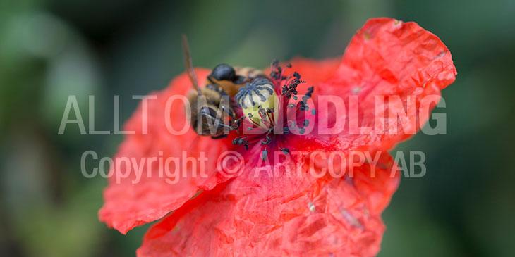 Biväxter - Rågvallmo (Papaver dubium)
