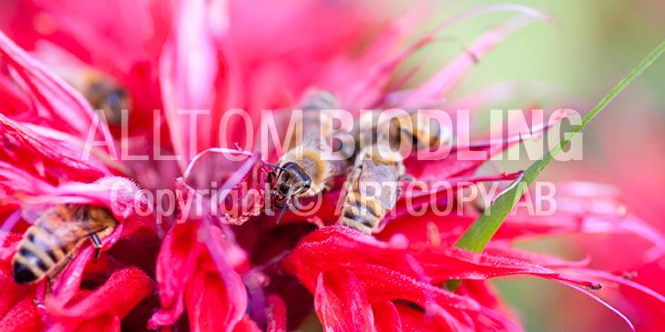 Biväxter - Röd temynta (Monarda didyma)