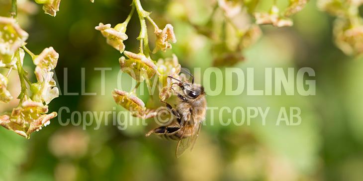 Biväxter - Röda vinbär (Ribes rubrum)