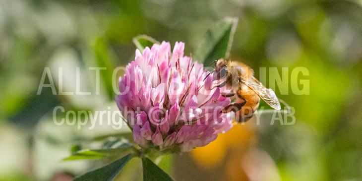 Biväxter - Rödklöver (Trifolium pratense)