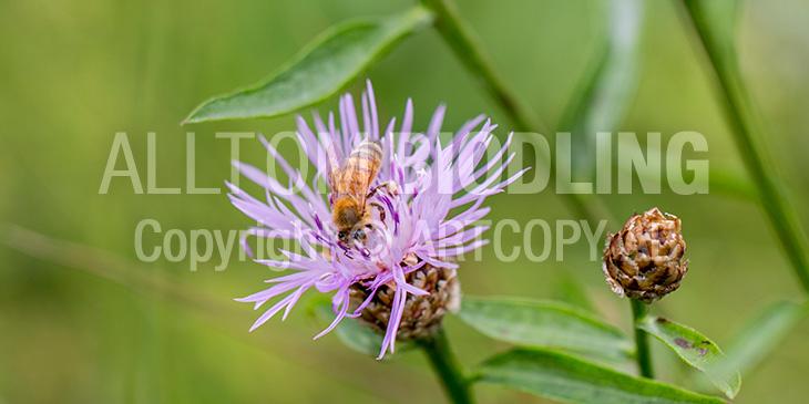 Biväxter - Rödklint (Centaurea jacea)