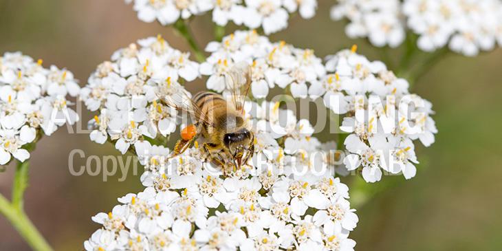 Biväxter - Röllika / rölleka (Achillea millefolium)