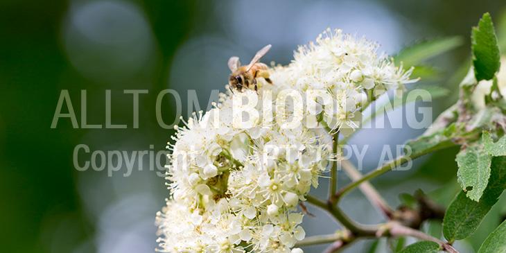 Biväxter - Rönn (Sorbus aucuparia)