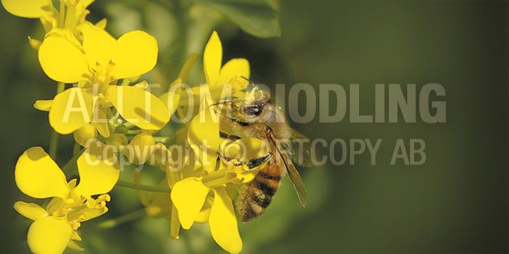 Biväxter - Raps (Brassica napus)