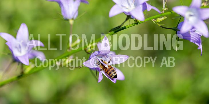 Biväxter - Rapunkelklocka (Campanula rapunculus)